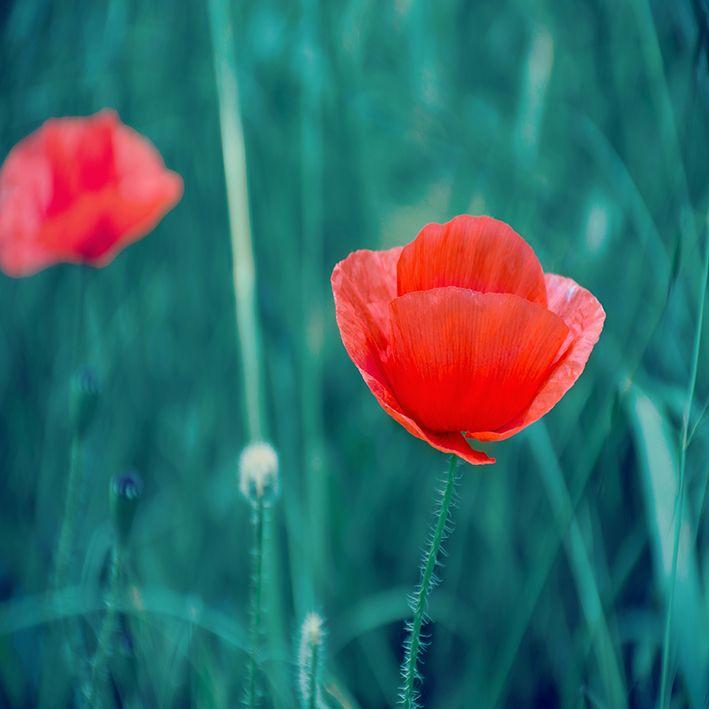 baskılı fon perde doğa etkili kırmızı gelincik desenli