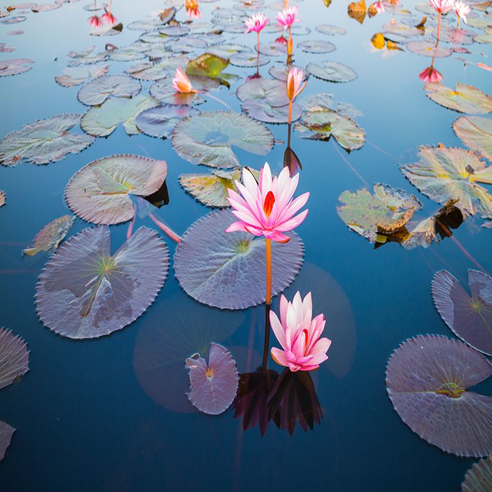 baskılı fon perde güzel lotus çiçeği açık desenli