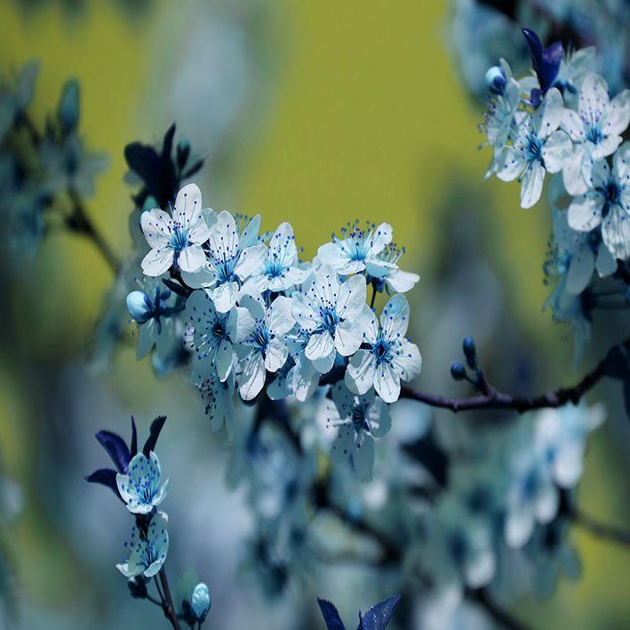 baskılı fon perde sarı arka plan dallı mavi çiçek desenli