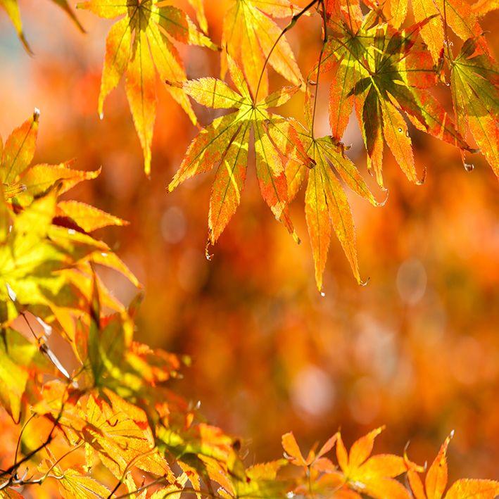 baskılı fon perde sonbahar etkili akçaağaaç desenli