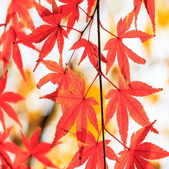 baskılı fon perde sonbahar etkili akçaağaaç yapraklı desenli