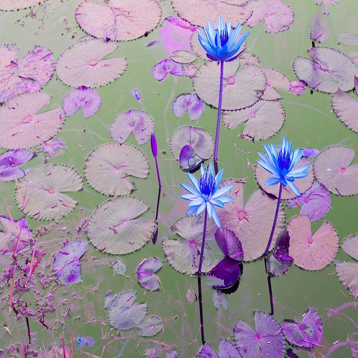 baskılı fon perde su üzerinde pembe yapraklı saks nilüfer çiçek desen