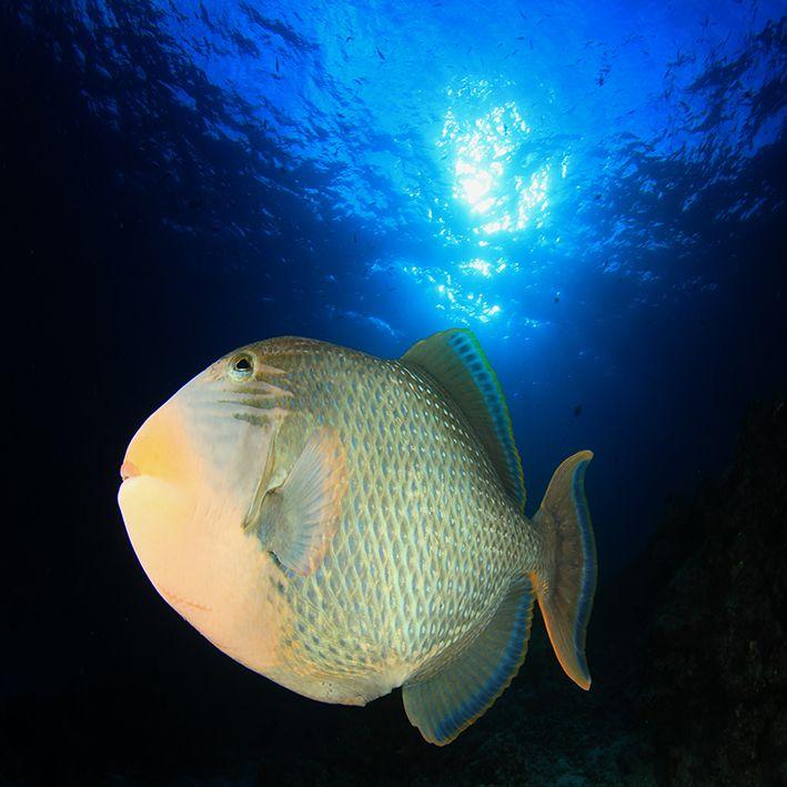 baskılı fon perde sualtı tropikal balık desenli mavi