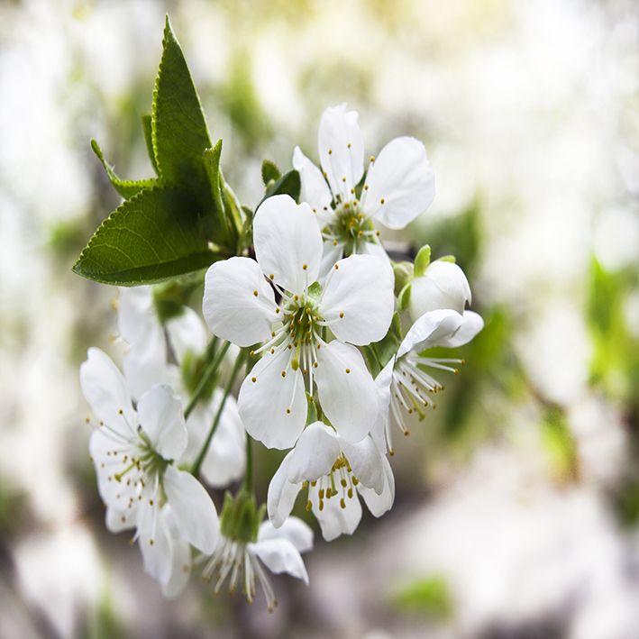 baskılı fon perde yeşil yapraklı kiraz çiçekleri etkili mevsim desenli